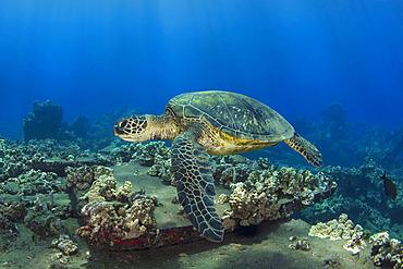 Hawaiian Green sea turtle (Chelonia mydas) swimming over the coral on the sea floor; Maui, Hawaii, United States of America
