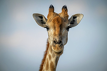 Close-up of head of Southern giraffe (Giraffa giraffa) against a blue sky, Gabus Game Ranch; Otavi, Otjozondjupa, Namibia