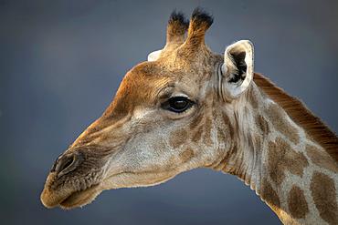 Close-up of head of Southern giraffe (Giraffa giraffa) against a bokeh background, Gabus Game Ranch; Otavi, Otjozondjupa, Namibia