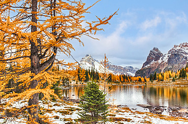 Larch trees in autumn colours around a pond in the Rocky Mountains of Yoho National Park; British Columbia, Canada