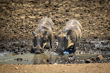 Two common warthogs (Phacochoerus africanus) stand drinking from waterhole; Otavi, Otjozondjupa, Namibia