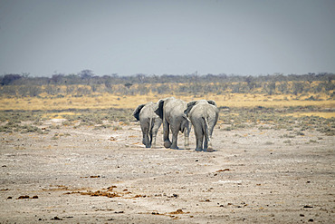 Three African bush elephants (Loxodonta africana) cross rocky pan, Etosha National Park; Otavi, Oshikoto, Namibia