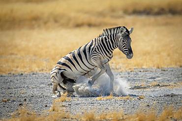Plains zebra (Equus burchellii) gets up from salt pan, Etosha National Park; Otavi, Oshikoto, Namibia