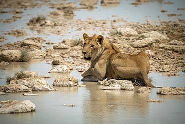 Lion (Panthera leo) lies on stepping stones looking up, Etosha National Park; Otavi, Oshikoto, Namibia