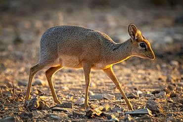 Kirk dik-dik (Madoqua kirkii) walks over sunlit rocky ground; Otavi, Otjozondjupa, Namibia