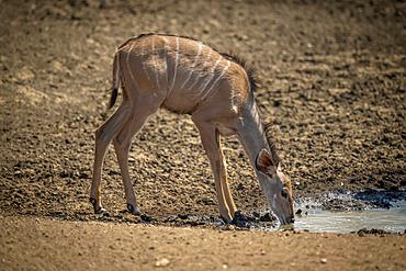 Female greater kudu (Tragelaphus strepsiceros) stands drinking from waterhole; Otavi, Otjozondjupa, Namibia