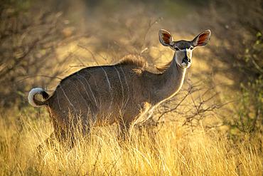 Female greater kudu (Tragelaphus strepsiceros) standing in tall grass; Otavi, Otjozondjupa, Namibia