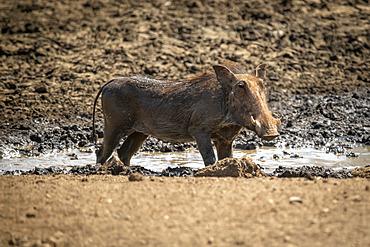 Common warthog (Phacochoerus africanus) stands in waterhole in sunshine; Otavi, Otjozondjupa, Namibia