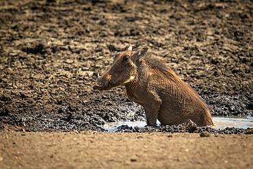 Common warthog (Phacochoerus africanus) sits in mud at waterhole; Otavi, Otjozondjupa, Namibia