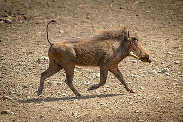 Common warthog (Phacochoerus africanus) crosses rocky ground in sunshine; Otavi, Otjozondjupa, Namibia