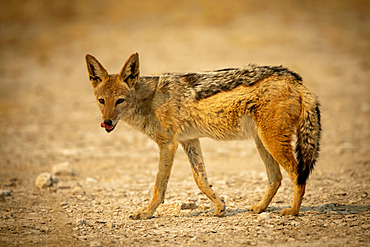 Black-backed jackal (Canis mesomelas) walks across gravel licking lips, Etosha National Park; Otavi, Oshikoto, Namibia