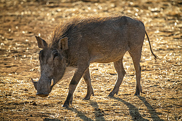 Backlit common warthog (Phacochoerus africanus) walks across sunlit scrub; Otavi, Otjozondjupa, Namibia