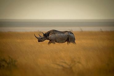 White Rhinoceros (Ceratotherium simum) walks through the long grass across the savanna in profile in the Etosha National Park at sunset; Otavi, Oshikoto, Namibia