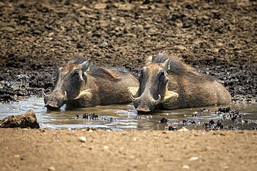 Two common warthogs (Phacochoerus africanus) lying in a muddy waterhole on the stony ground on the savanna at the Gabus Game Ranch; Otavi, Otjozondjupa, Namibia