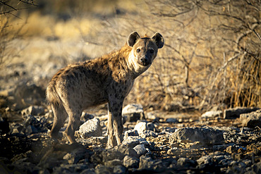 Spotted hyena (Crocuta crocuta) running across the grassland in the sunshine at the Etosha National Park; Otavi, Oshikoto, Namibia