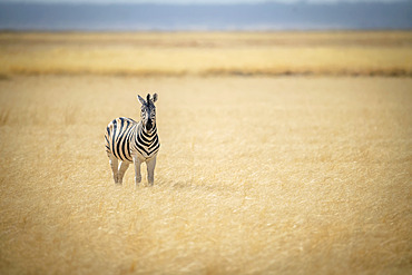 Plains zebra (Equus quagga formerly Equus burchellii) standing in the middle of the long grass on the savanna looking at the camera at the Etosha National Park; Otavi, Oshikoto, Namibia