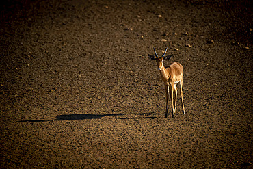 Portrait of a sunlit, male common impala (Aepyceros melampus) standing on the the plain casting a long shadow at the Gabus Game Ranch and looking at camera; Otavi, Otjozondjupa, Namibia