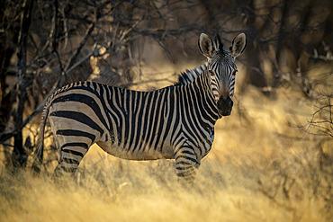 Hartmann's mountain zebra (Equus zebra hartmannae) staring at the camera while standing in the shade under some trees at the Gabus Game Ranch at sunset; Otavi, Otjozondjupa, Namibia