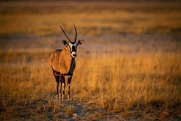 Portrait of a gemsbok (Oryx gazella) standing on a grassy plain on the savanna and looking at the camera at the Etosha National Park; Otavi, Oshikoto, Namibia