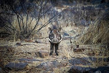 Portrait of a common warthog (Phacochoerus africanus) standing in the bush among rocks and looking at the camera at the Gabus Game Ranch; Otavi, Otjozondjupa, Namibia