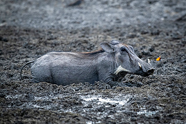 Close-up of a common warthog (Phacochoerus africanus) lying on its stomach in the mud at a waterhole next to a butterfly at the Gabus Game Ranch; Otavi, Otjozondjupa, Namibia