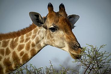 Close-up of a southern giraffe (Giraffa camelopardalis angolensis) browsing leafy thornbush on the savanna against a blue sky and eyeing the camera at the Gabus Game Ranch; Otavi, Otjozondjupa, Namibia