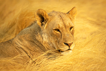 Close-up portrait of a lioness (Panthera leo) lying down in the golden long grass on the savanna in the Etosha National Park; Otavi, Oshikoto, Namibia