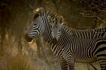 Adult Hartmann's mountain zebra (Equus zebra hartmannae) standing in the shade looking forward while foal is looking at the camera at the Gabus Game Ranch at sunrise; Otavi, Otjozondjupa, Namibia