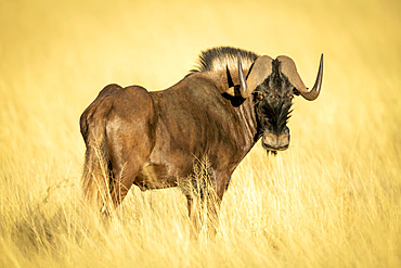Black wildebeest (Connochaetes gnou) standing in the golden long grass of the savanna looking back over shoulder at the camera at the Gabus Game Ranch; Otavi, Otjozondjupa, Namibia