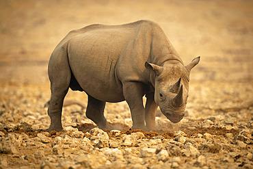 Black rhinoceros (Diceros bicornis) standing on rocks lowering head and looking at camera in the Etosh National Park; Otavi, Oshikoto, Namibia