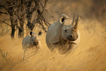 Black rhinoceros and calf (Diceros bicornis) standing in a field of golden long grass on the savanna looking at the camera in Etosh National Park; Otavi, Oshikoto, Namibia