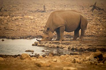 Black rhinoceros (Diceros bicornis) drinking from a waterhole in the haze in the Etosh National Park; Otavi, Oshikoto, Namibia