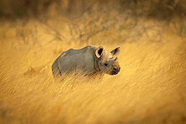 Black rhinoceros calf (Diceros bicornis) standing in a field of golden long grass on the savanna in Etosh National Park; Otavi, Oshikoto, Namibia