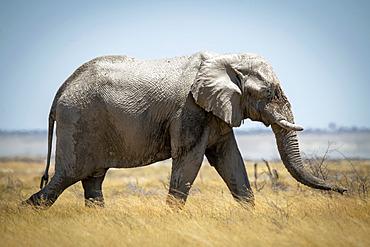 African bush elephant (Loxodonta africana) striding through the long grass on the savanna in Etosha National Park; Otavi, Oshikoto, Namibia