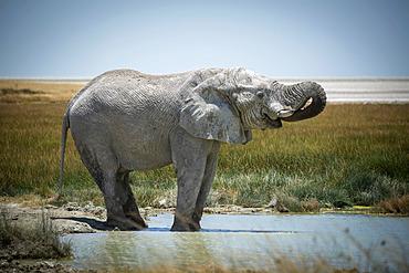 African bush elephant (Loxodonta africana) drinking from grassy waterhole with its trunk curled into its mouth on the savanna in Etosha National Park; Otavi, Oshikoto, Namibia