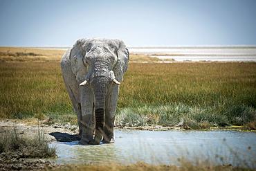 African bush elephant (Loxodonta africana) drinking from grassy waterhole on the savanna in Etosha National Park looking at camera; Otavi, Oshikoto, Namibia