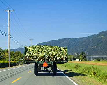 Back end of tractor carrying a load of harvested cornstalks (Zea Mays) on a highway driving through the countryside; Yarrow, British Columbia, Canada