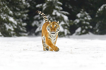 Siberian tiger (Panthera tigris altaica) walking in the snow in winter; Czech Republic