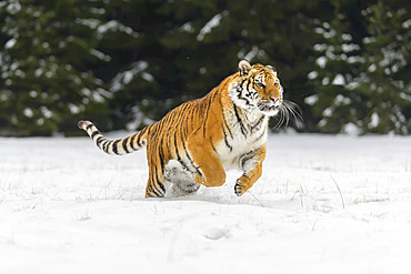 Siberian tiger (Panthera tigris altaica) running in the snow in winter; Czech Republic