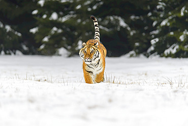 Siberian tiger (Panthera tigris altaica) in winter; Czech Republic