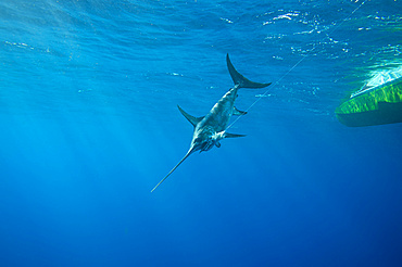 A swordfish (Xiphias gladius) caught by fishing line and bait by the underside of a boat; Islamorada, Florida, United States of America