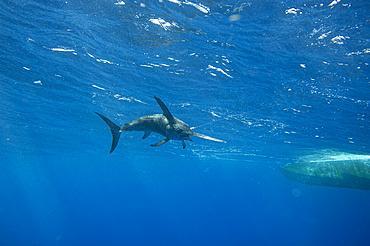 A swordfish (Xiphias gladius) caught by fishing line by the underside of a boat; Islamorada, Florida, United States of America