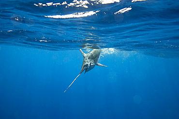 A swordfish (Xiphias gladius) caught by fishing line under the water; Islamorada, Florida, United States of America