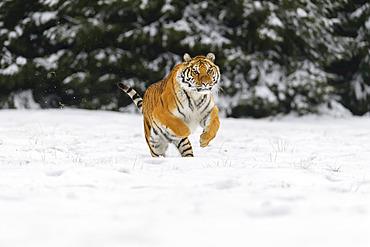 Siberian tiger (Panthera tigris altaica) running in snow; Czech Republic