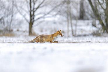 Red Fox (Vulpes vulpes) stalking in snow; Europe