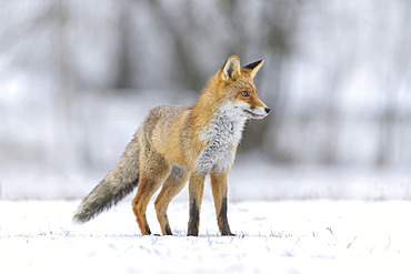 Red Fox (Vulpes vulpes) stalking prey in snow; Europe