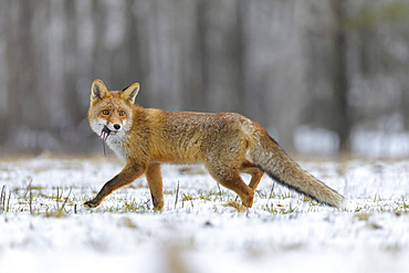 Red Fox (Vulpes vulpes) with fresh kill in it's mouth; Europe