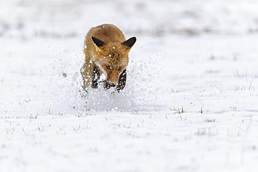 Red Fox (Vulpes vulpes) running in snow; Europe