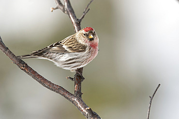 Common Redpoll (Acanthis flammea) sitting on a branch; Whitehorse, Yukon, Canada