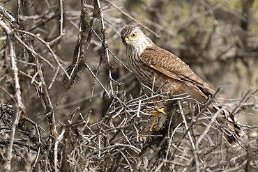 A raptor bird perched in a tree